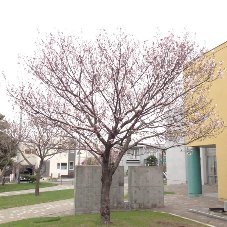 札幌西高校の校庭の桜の木